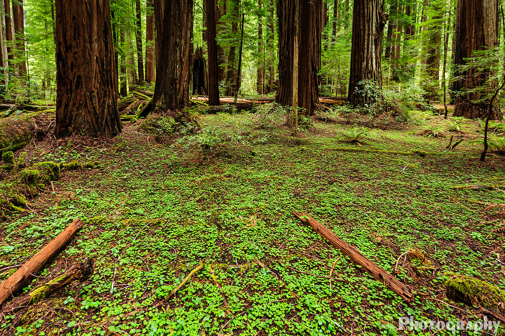 green patch of clover covers the forest floor in a grove of giant redwood trees