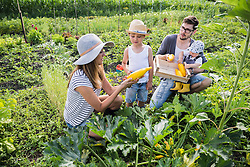 Family harvesting courgette in community garden, Bavaria, Germany