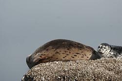 Harbor Seals (Phoca vitulina), Orcas Island, San Juan Islands, Washington, US