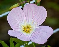 Pink Evening Primrose. Image taken with a Nikon N1V3 camera and 70-300 mm VR lens