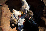 Pirapora _ MG, Brasil... Detalhe de frangos mortos no carrinho de mao... Detail of dead chickens in trolleys...Foto: LEO DRUMOND /  NITRO