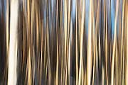 Patterns of aspen trees against the blue sky of Alaska, Alaska,USA