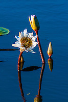 Flowers in a pond, Kwara Camp, Okavango Delta, Botswana.