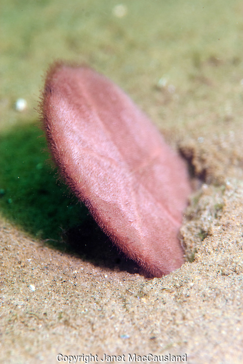 A common Sand Dollar (Echinarachnius parma) stands on edge to feed. They are related to sea stars.