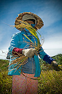 a vietnamese female farmer harvests rice in a field of Kanh Hoa province, Vietnam, Asia. Under her conical hat, she looks straight at the camera, holding a sheaf of rice.