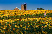 Sunflowers at Bergsbaken Farms near Cecil, Wisconsin.  Photo by Mike Roemer