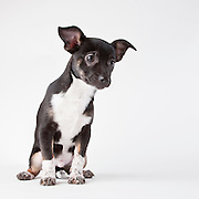 Chihuahua mix puppy sitting on white seamless and leaning
