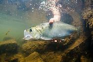 American Shad<br /> <br /> Sean Landsman/Engbretson Underwater Photography