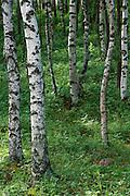 Asian White Birch (Betula platyphylla) forest, Mongolia