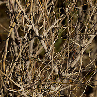 USA, California, San Diego County. Bare branches of Anza-Borrego Desert State Park.
