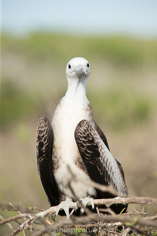 Female frigate bird, North Seymore Island, Galapagos, Ecuador, South America