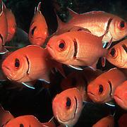 Blackbar Soldierfish inhabit reefs, commonly hide in dark recesses in large schools, in Tropical West Atlantic; picture taken Dominica.