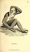 Maimon from General zoology, or, Systematic natural history Part I, by Shaw, George, 1751-1813; Stephens, James Francis, 1792-1853; Heath, Charles, 1785-1848, engraver; Griffith, Mrs., engraver; Chappelow. Copperplate Printed in London in 1800. Probably the artists never saw a live specimen