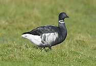 Black Brant (Brent) - Branta bernicla nigricans L 56-61cm. Paciific northwest subspecies of Brent Goose.Compared to superficailly similar  Dark-bellied Brent Goose, plumage is overall darker, with black on underparts extending further back. White patch on flanks is more extensive and 'cleaner', as is marking on neck. A rare visitor to northwest Europe, usually found among flocks of Dark-bellied or Pale-bellied Brents.