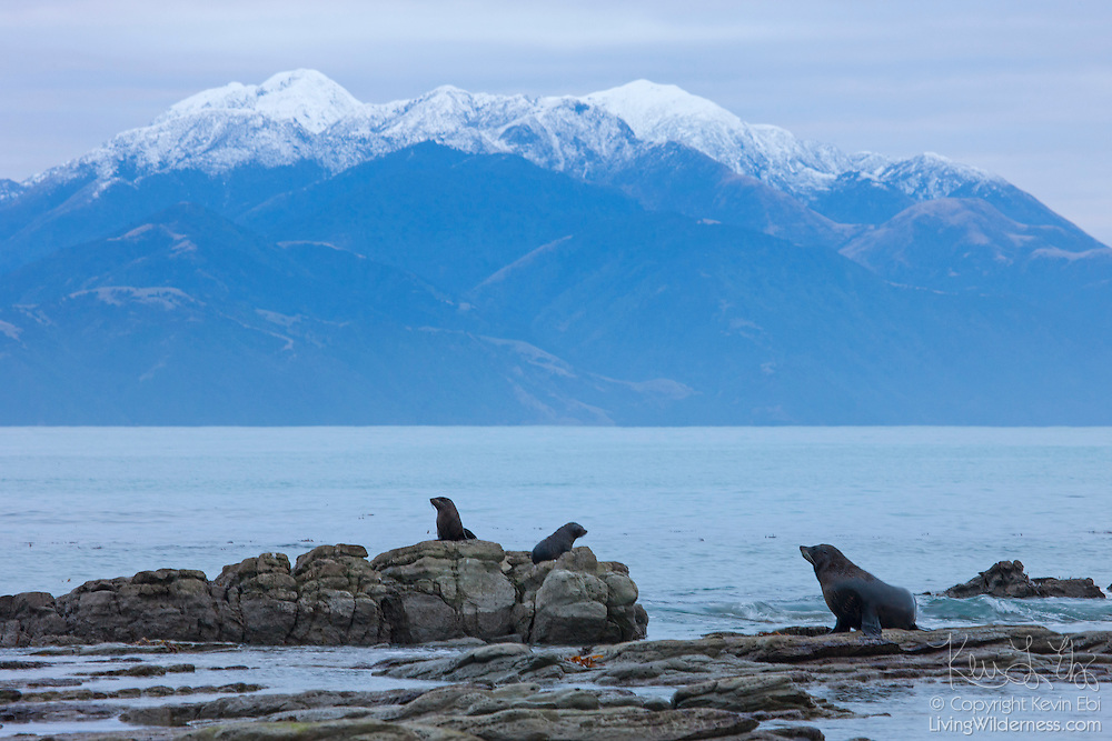 Several New Zealand fur seals (Arctocephalus forsteri), one adult and two pups, rest on the rocks on the coast of the South Island of New Zealand near Kaikoura. The New Zealand fur seal is also known as the southern fur seal, and as kekeno in the Māori language.