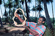 fisherman holds dried jaws of tiger shark, Galeocerdo cuvier, Trinidad ( Caribbean Sea )