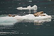 Harbor seals rest on ice floes calved from Barry Glacier, a tidewater glacier in Barry Arm, Harriman Fjord, Prince William Sound near Whittier, Alaska.
