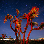 Joshua Trees (Yucca brevifolia) at night, with clouds, stars, and vehicle trails in Joshua Tree National Park, California USA.