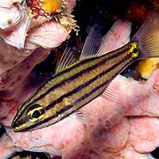 Fivelined Cardinalfish inhabit reefs. Picture taken Dumaguete, Philippines.