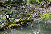Cherry Blossoms in a Japanese Garden, Tokyo, Japan