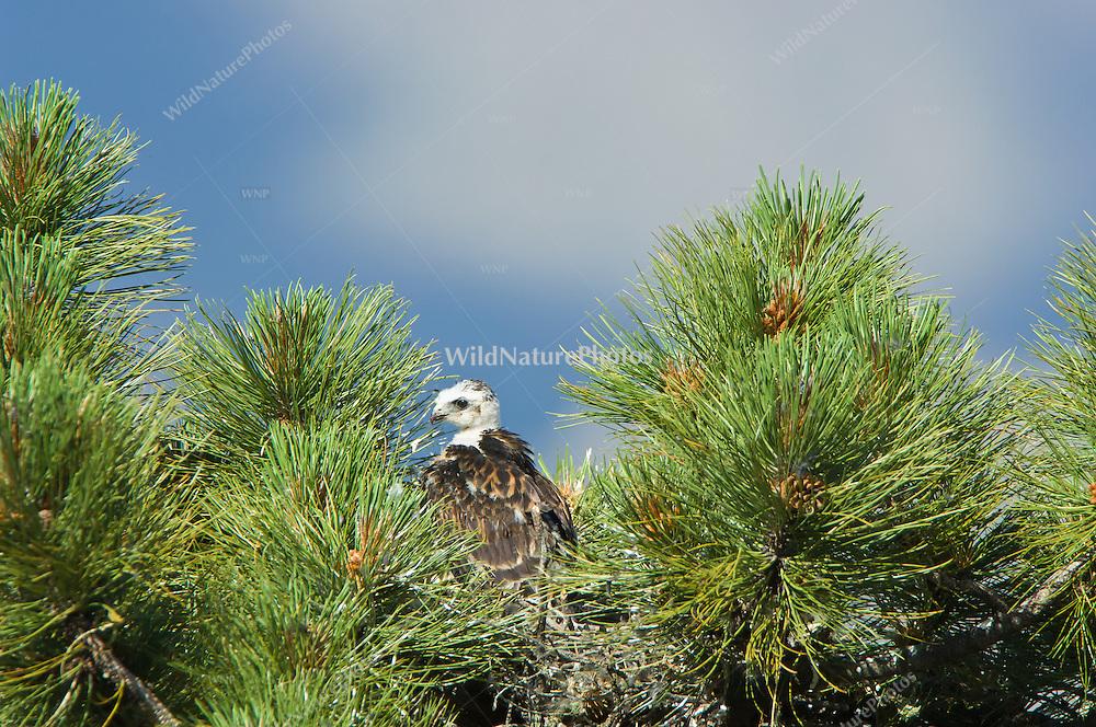 Short-tailed Hawk (Buteo brachyurus) nestling, with blue sky and clouds, Arizona