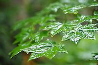 Vine Maple leaves. Mt. Rainier National Park, WA.