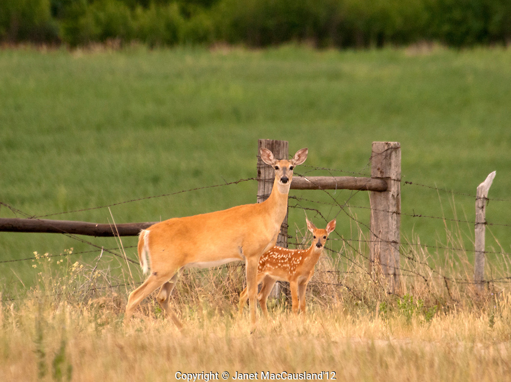 A doe an fawn are crossing a farm field. White-tailed or Virginia Deer (Odocoileus virginianus) are native to the North American hemisphere. They are crepuscular, feeding at dawn and dusk.