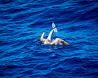 Brown Booby catches a Flying Fish. Viewed from the deck of the MV World Odyssey. Image taken with a Nikon 1 V3 camera and 70-300 mm VR lens (ISO 400, 147 mm, f/5.3 1/1000 sec).