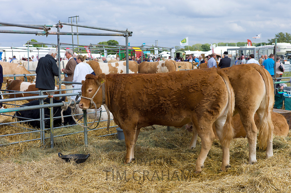 Pedigree British Limousin heifer cow at Moreton Show, Moreton-in-the-Marsh Showground, The Cotswolds, Gloucestershire, UK