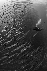A massive school of Chevron Barracuda, Sphyraena genie, surround a lucky photographer at a site called Black Magic, Barren Island, Andaman Islands, India, Andaman Sea