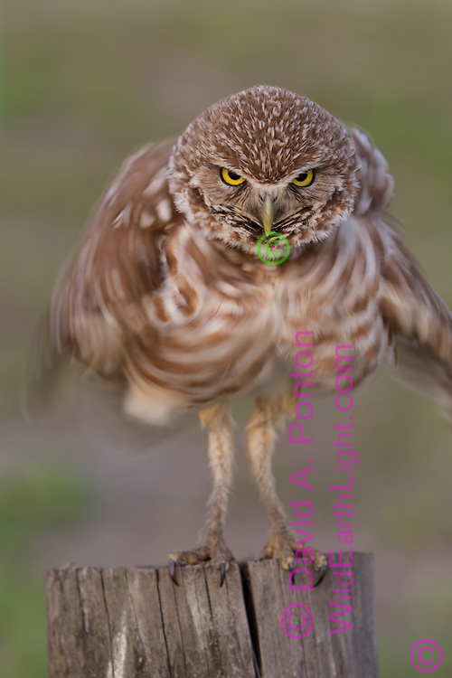 Burrowing owl holds it head perfectly still while shaking it body to rouse it feathers, © David A. Ponton