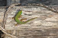 Gecko at Pu?uhonua o Honaunau National Historic Park. Image taken with D2xs and 105 mm f/2.8 macro lens (ISO 100, f/11, 1/80 sec)..