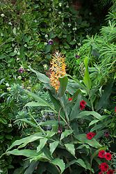 Hedychium coccineum 'Tara'. Ginger lily