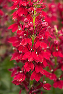 Lobelia x speciosa 'Fan Burgundy', a deep red flower in The Savill Garden, Surrey, UK