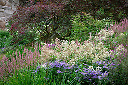 Planting in the Rockery including Aster macrophyllus 'Twilight' syn. Aster × herveyi, Persicaria amplexicaulis 'Rosea' syn. Polygonum, Persicaria polymorpha syn. Polygonum alpinum, Cornus kousa and Acer palmatum
