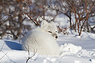 01863-01211 Arctic Fox (Alopex lagopus) in snow in winter, Churchill Wildlife Management Area, Churchill, MB Canada