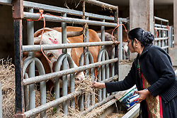 © Licensed to London News Pictures. 05/09/2015. Watford, UK. A woman feeds one of the many pampered bulls in the cow shed at the biggest Janmashtami festival outside of India at the Bhaktivedanta Manor Hare Krishna Temple in Watford, Hertfordshire.  The event celebrates the birth of Lord Krishna and the festival  includes music, dance, food, dramas and more. Photo credit : Stephen Chung/LNP
