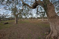 Alessano-Corsano (LE) .Campo di Ulivi sulla Strada Provinciale 210