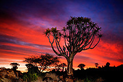 A quiver tree (the kokerboom) forest, near Keetmanshoop, Namibia at dusk. It is a lovely plant, not a tree at all but an aloe, which is shaped like a menorah and can grow to thirty feet.
