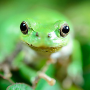 Face-to-face encounter with an adorable green Japanese tree frog (Hyla japonica). アマガエル