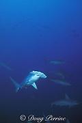 scalloped hammerhead sharks, Sphyrna lewini, Cocos Island, Costa Rica (E. Pacific)