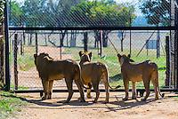 Female lions, Lion Park, near Johannesburg, South Africa.