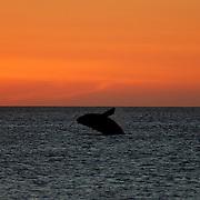 Gansbaai Syd Afrika 2003  <br /> South Africa<br /> <br /> Syd kapare hoppar i solnedgången southern right whale<br /> hav indiska oceanen<br /> <br /> <br /> <br /> FOTO : JOACHIM NYWALL KOD 0708840825_1<br /> COPYRIGHT JOACHIM NYWALL<br /> <br /> ***BETALBILD***<br /> Redovisas till <br /> NYWALL MEDIA AB<br /> Strandgatan 30<br /> 461 31 Trollhättan<br /> Prislista enl BLF , om inget annat avtalas.