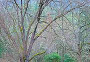 Winter Forest, Oregon