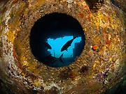 Greater Amber Jack, USCGC Spar Shipwreck