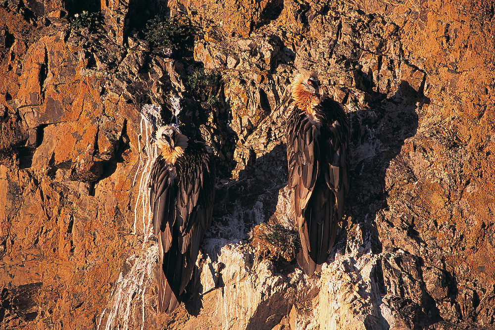 Lammergeiers or Bearded vulture<br /> (Gypaetus barbatus barbatus)<br /> Gobi Desert<br /> Mongolia<br /> Range: Southern Europe, nw Africa & ne China