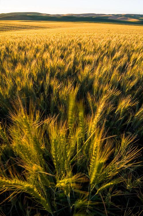 Wheat field, evening light, Whitman County, near Palouse, Washington, USA.