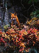 Red Fox, Vulpes fulva, Acadia National Park, Maine.