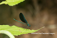 06014-00401 Ebony Jewelwing (Calopteryx maculata) male Washington Co. MO