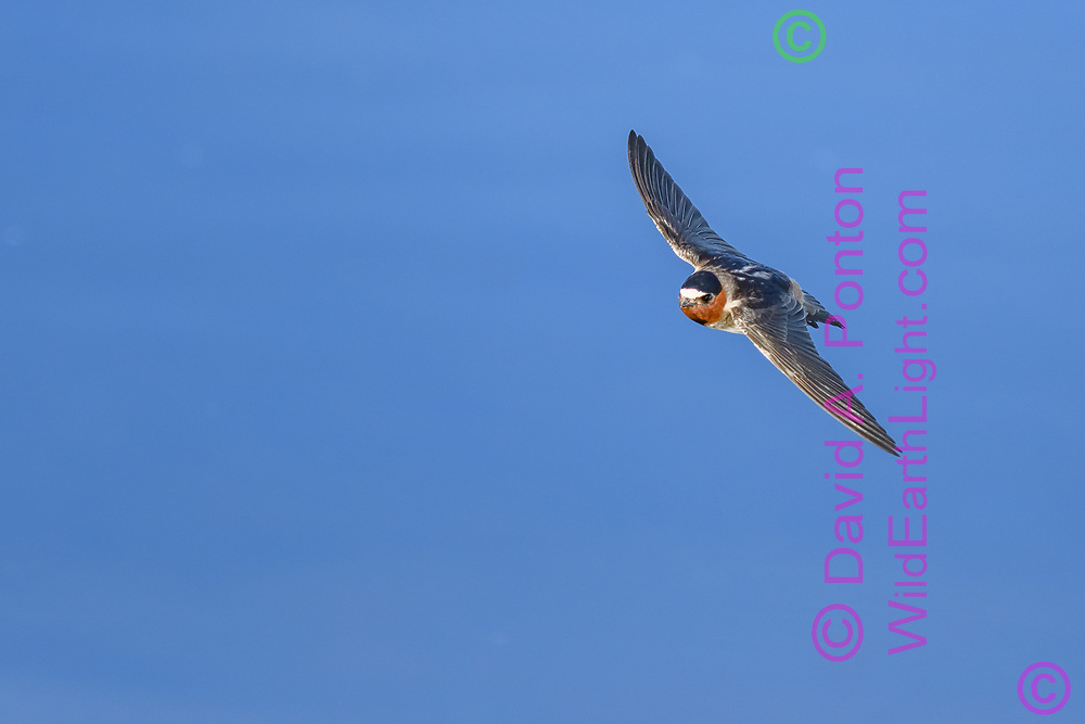 Cliff swallow in flight, sky background, Greater Yellowstone Ecosystem, © David A. Ponton